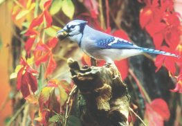 H&G-BIRDS.BLUEJAY-9.22