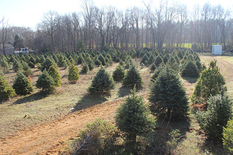 The Two River Times   Christmas Trees Are A Growth Business At ...