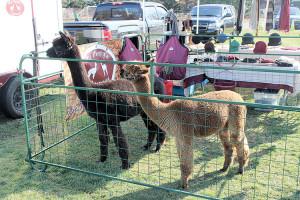 Two alpaca visit the Christmas tree sale on weekends. Photo: Eduardo Pinzion