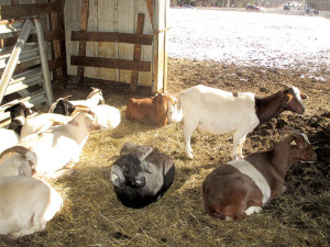 Goats stay in the barn on a cold January day at the W.H. Potter and Son farm, Holmdel. Photo: Joseph Sapia